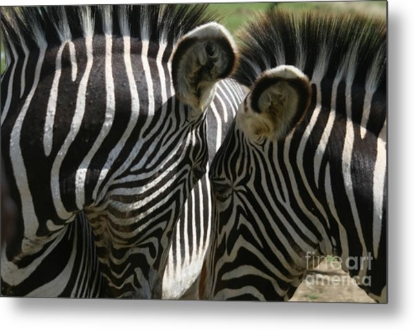 Zebra Lovers Metal Print by Carol Wright