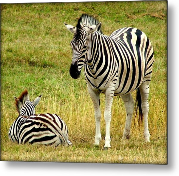 Zebra Mother And Baby Metal Print by Judy Garrett