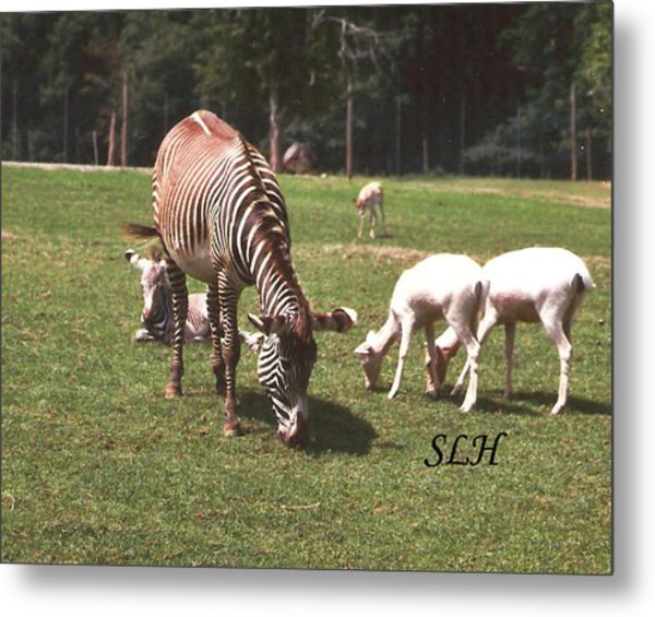 Zebra's Grazing Metal Print