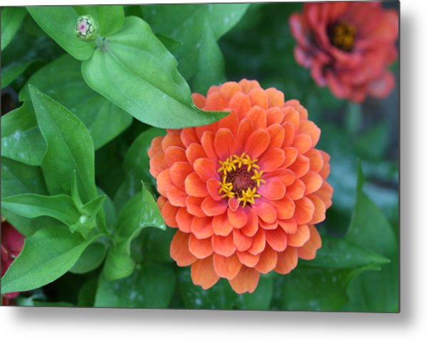 Zinnia Flower Stages Of Life Metal Print by Bonnie Boden