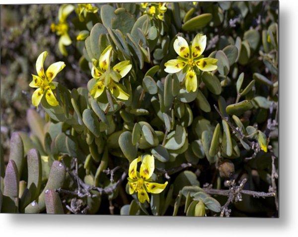 Zygophyllum Cordifolium Flowers Metal Print by Bob Gibbons