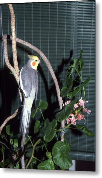 Cockatiel Named Pete Metal Print