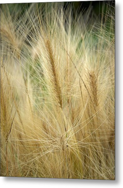Foxtail Barley Metal Print