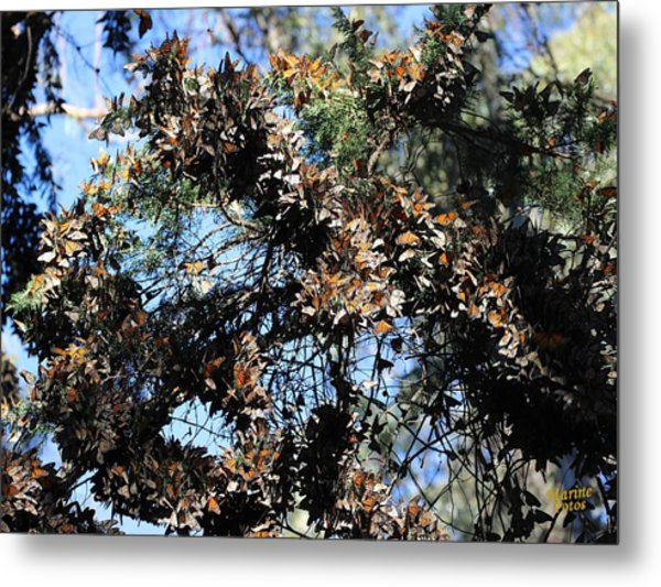 Monarch Large Cluster Metal Print