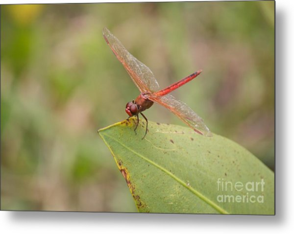 Red Flame Dragonfly Metal Print by David Grant