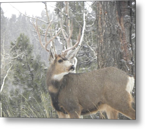 Buck Front Yard Divide Co Metal Print