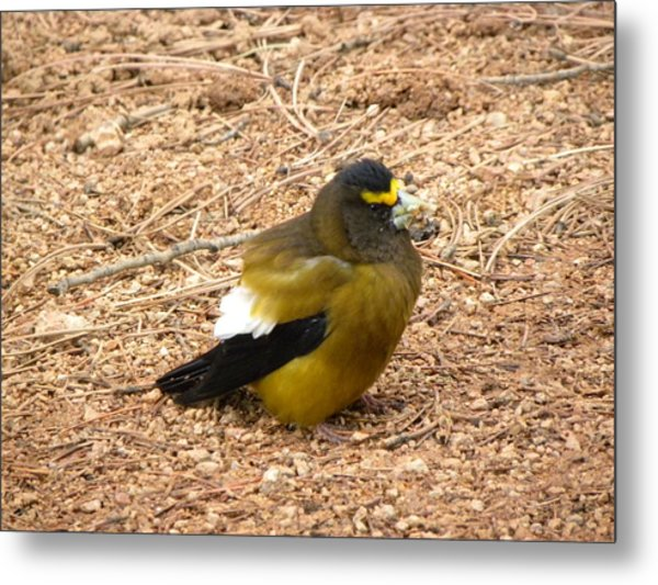 Evening Grossbeak Divide Co Metal Print