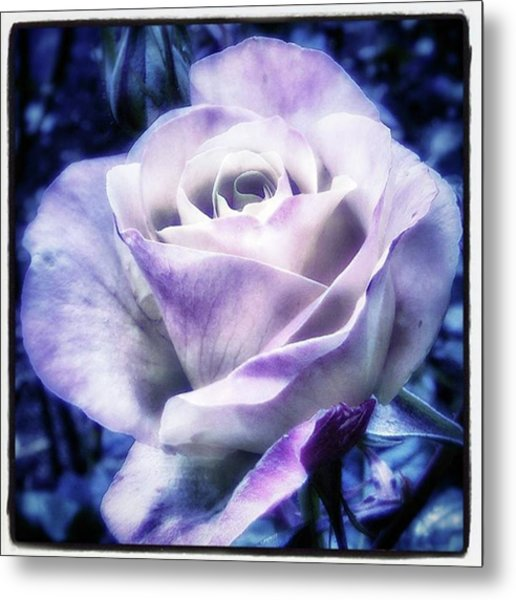 A Rose Is A Rose Is A Rose, Variation Metal Print by Mr Photojimsf