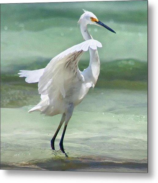 A Snowy Egret (egretta Thula) At Mahoe Metal Print