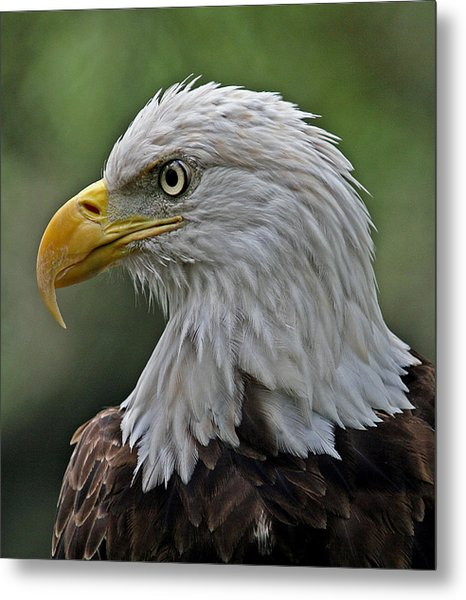 American Bald Eagle  Metal Print