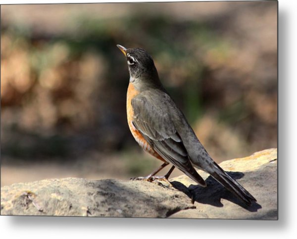 American Robin On Rock Metal Print
