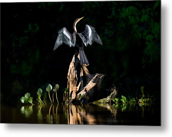 Anhinga Anhinga Anhinga, Pantanal Metal Print