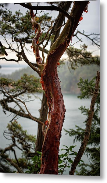 Arbutus Tree Metal Print