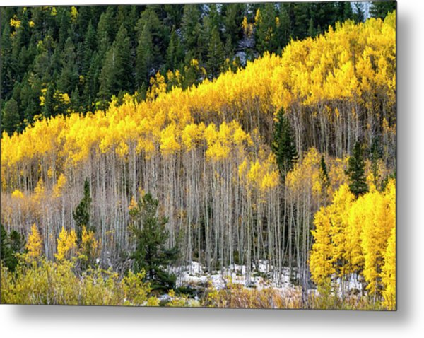 Aspen Trees In Fall Color Metal Print