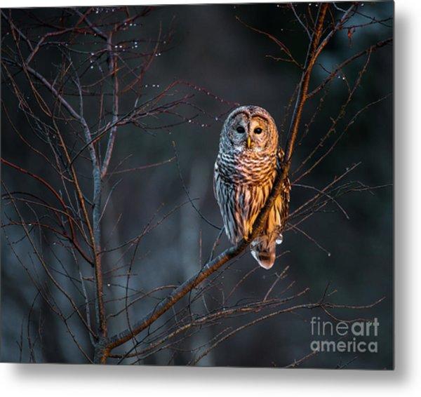 Barred Owl Metal Print by Benjamin Williamson