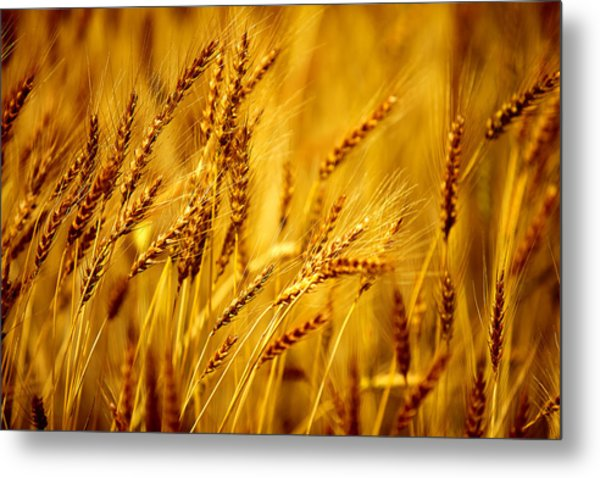 Bearded Barley Metal Print