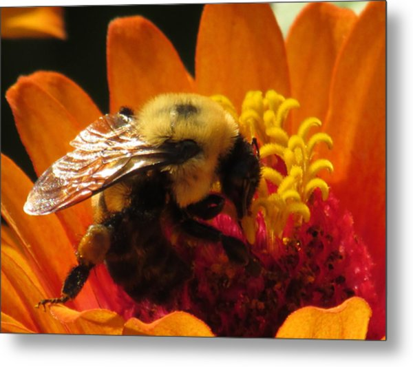 Bee With Zinnia Metal Print