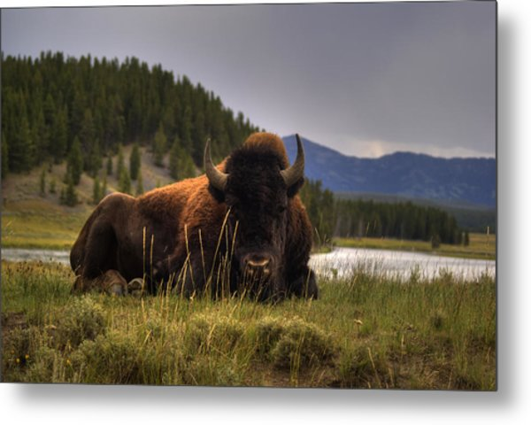 Bison Metal Print by Patrick  Flynn
