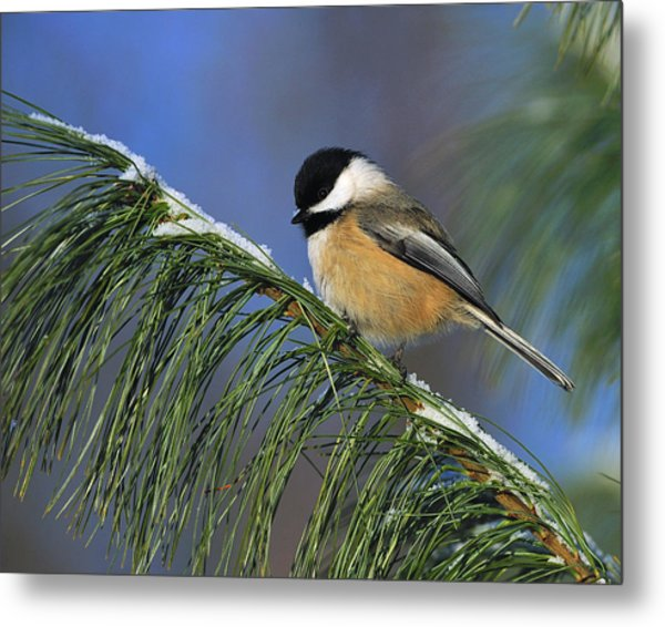 Black-capped Chickadee Metal Print