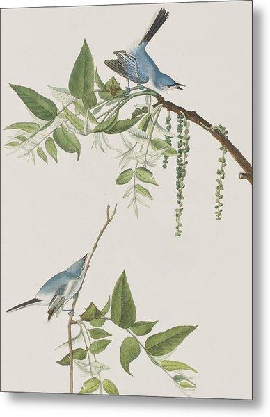 Blue Grey Flycatcher Metal Print