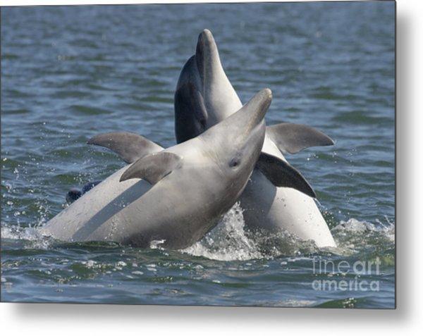 Bottlenose Dolphins  - Scotland  #15 Metal Print