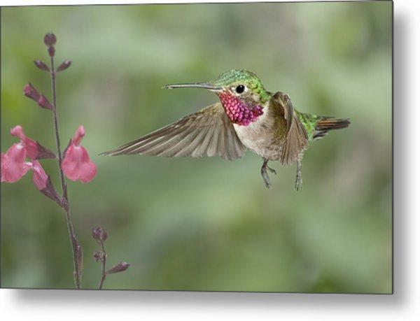 Broadtail Hummingbird And Salvia Metal Print