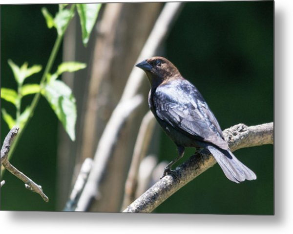 Brown-headed Cowbird Metal Print