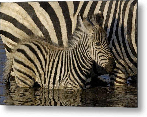 Burchells Zebra Equus Burchellii Foal Metal Print