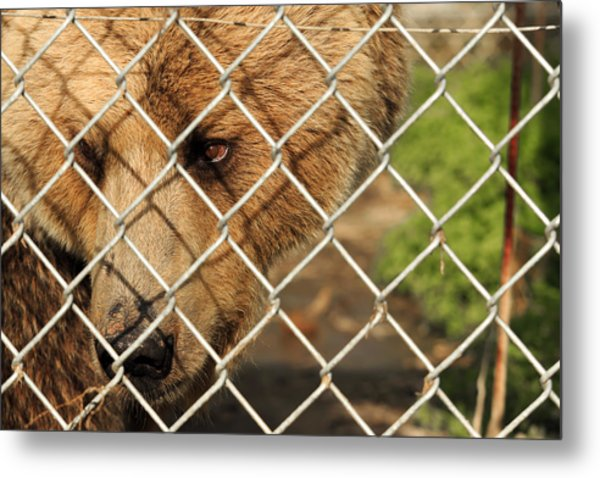 Caged Bear Metal Print