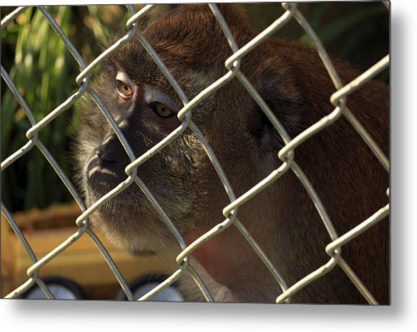 Caged Monkey Metal Print