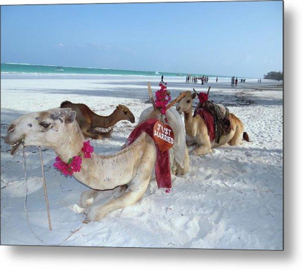 Camel On Beach Kenya Wedding4 Metal Print