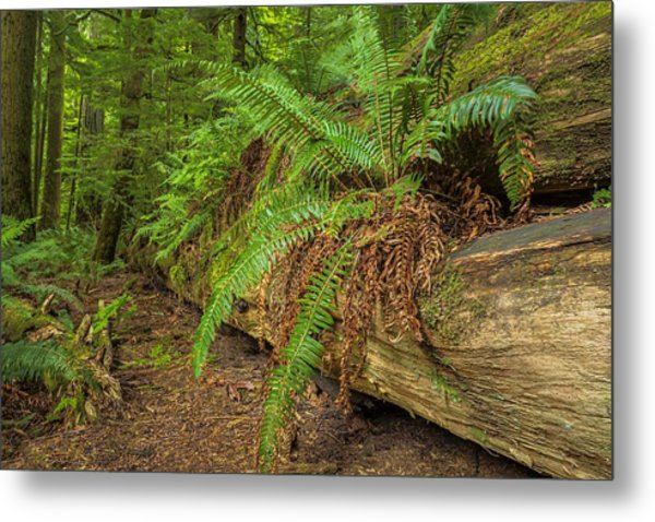 Cathedral Grove Metal Print