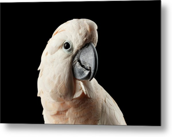Closeup Head Of Beautiful Moluccan Cockatoo, Pink Salmon-crested Parrot Isolated On Black Background Metal Print