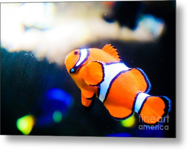 Clownfish Metal Print by Brenton Woodruff