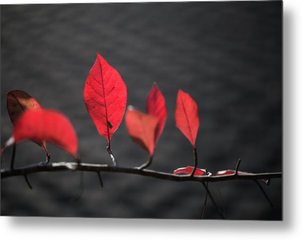 Colorful Tree Leaves Changing Color For Auyumn,fall Season In Oc Metal Print