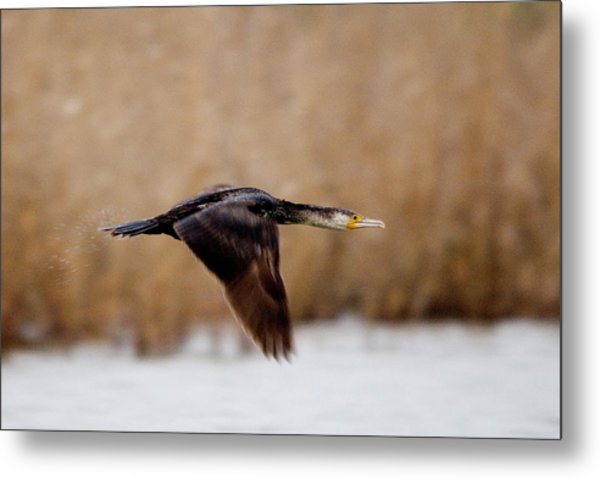 Cormorant In Flight Metal Print