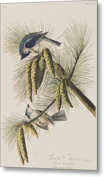 Crested Titmouse Metal Print