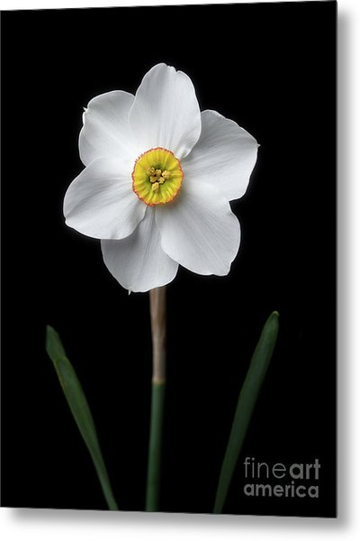Daffodil 'cantabile' Metal Print