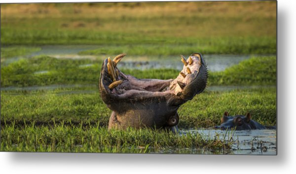 Dare To Yawn Metal Print