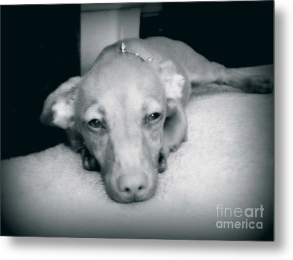 Day Dreaming Doxie Metal Print