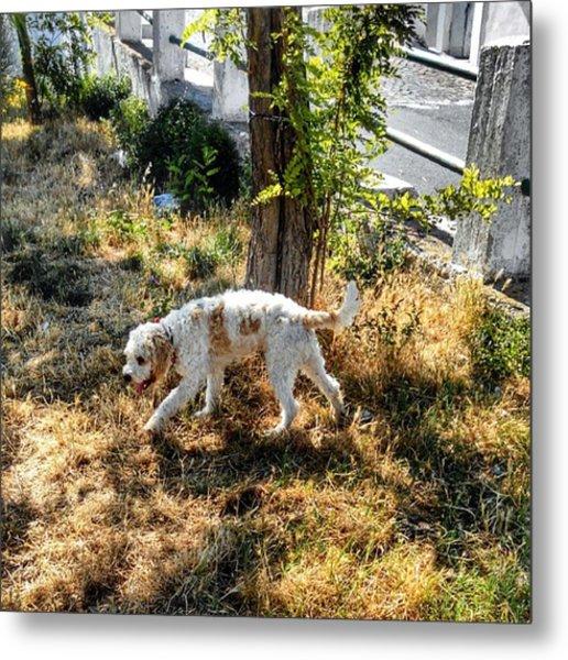#dog #lagotto #lagottoromagnolo #pet Metal Print