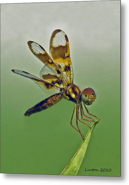 Eastern Amberwing Dragonfly Metal Print by Larry Linton