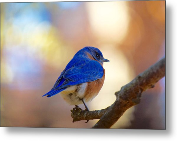 Metal Print featuring the photograph Eastern Bluebird by Robert L Jackson