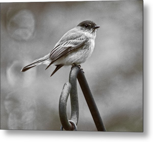 Metal Print featuring the photograph Eastern Phoebe by Robert L Jackson
