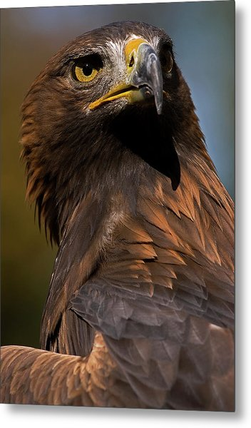 European Golden Eagle Metal Print