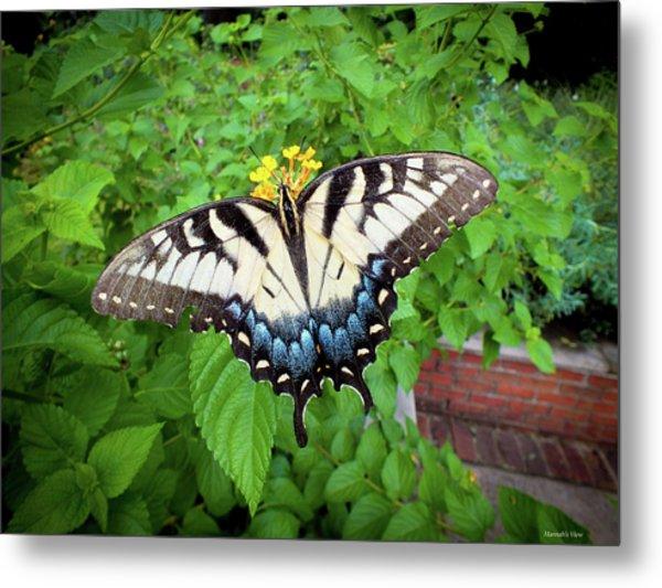 Female Eastern Tiger Swallowtail  Metal Print