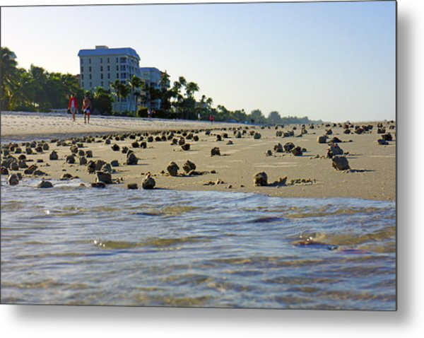 Fighting Conchs At Lowdermilk Park Beach In Naples, Fl Metal Print