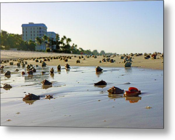 Fighting Conchs On The Beach In Naples, Fl Metal Print