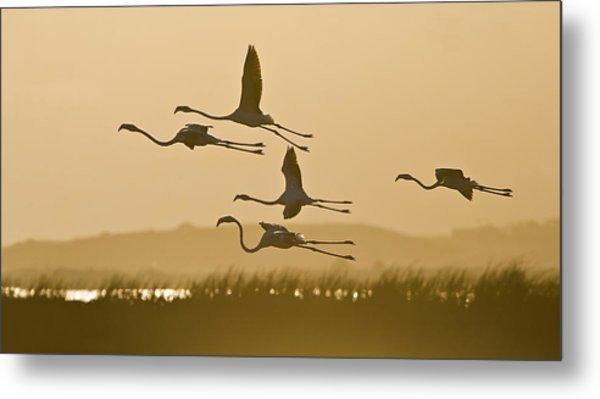 Flamingo Flight Metal Print by Basie Van Zyl