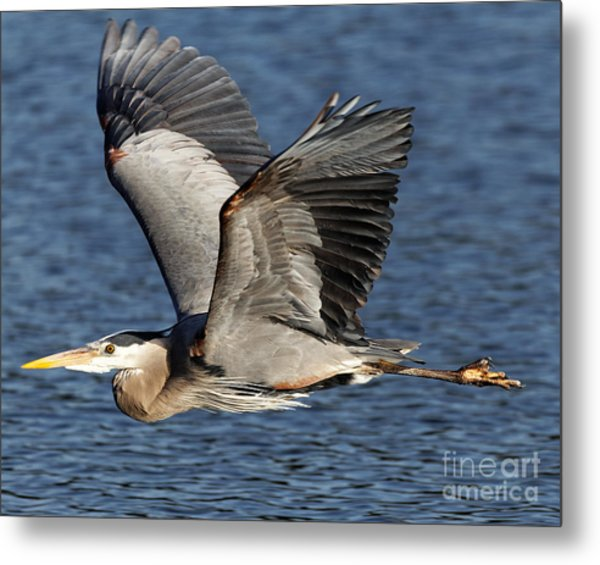 Metal Print featuring the photograph Flight Of The Great Blue Heron by Sue Harper